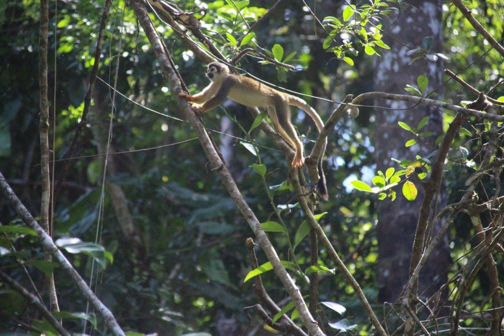 Animaux, jungle, Amazonie, Equateur, singes