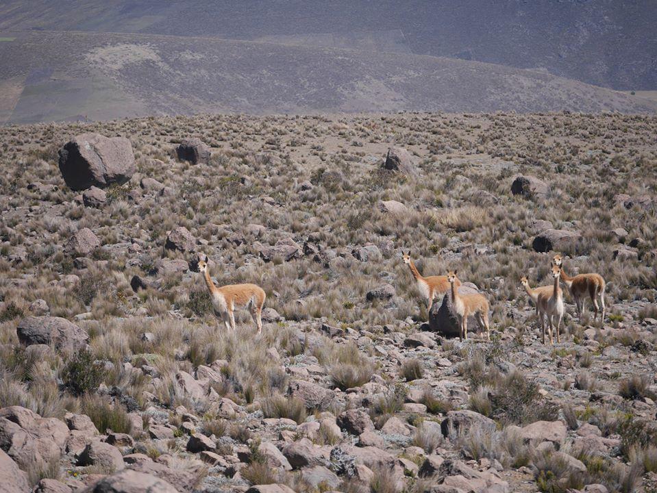 Trek des vigognes au pied du Chimborazo 10