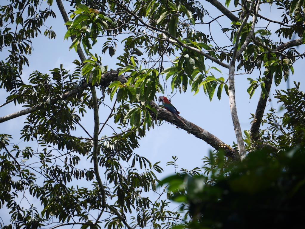 amazonie-perroquet