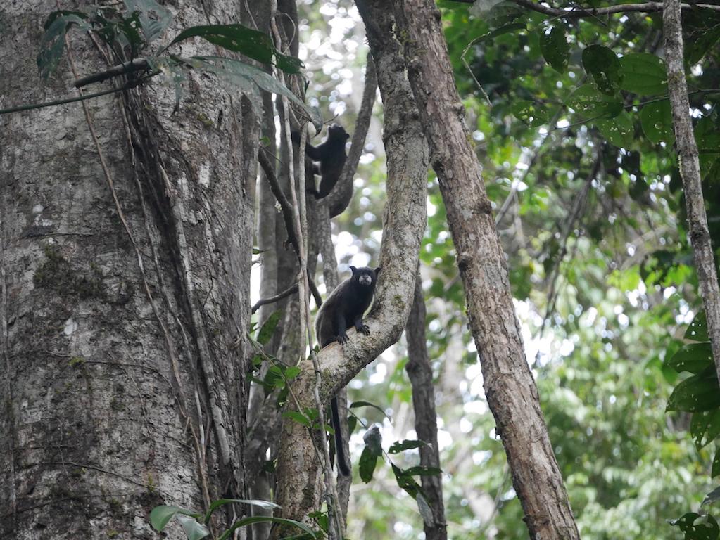 singe-amazonie