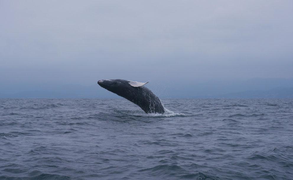 Baleine sur la côte pacifique d'Equateur