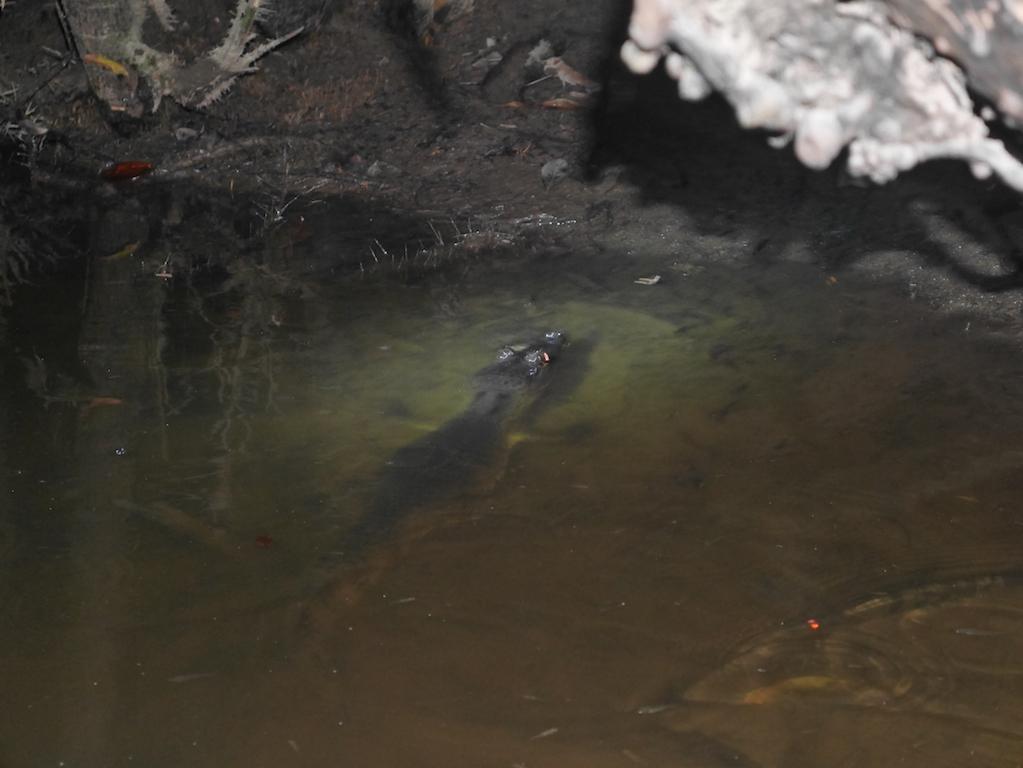 caiman-lagune-amazonie