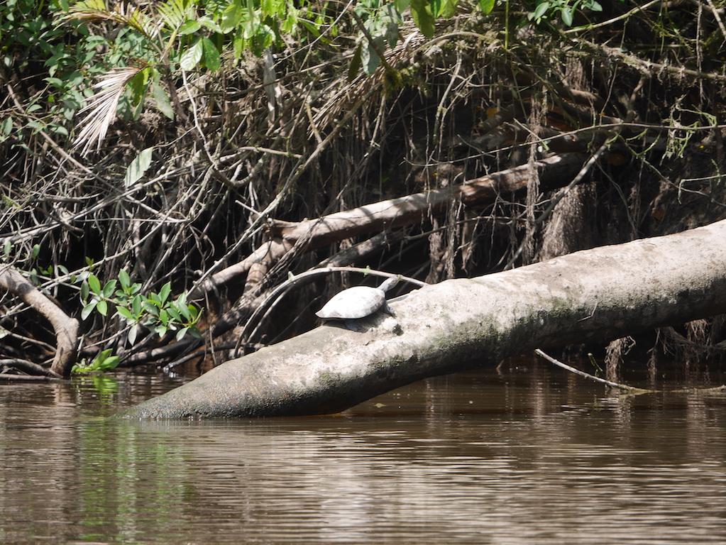 tortue-amazonie