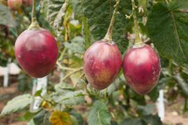 Le Tamarillo, ou Tomate de Arbol - Photo ITK Voyage