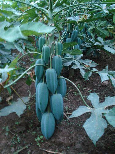 L'arbre à Babaco, bien que sa durée de vie ne soit que d'environ 8 ans, il produit entre 60 et 80 fruits par an!