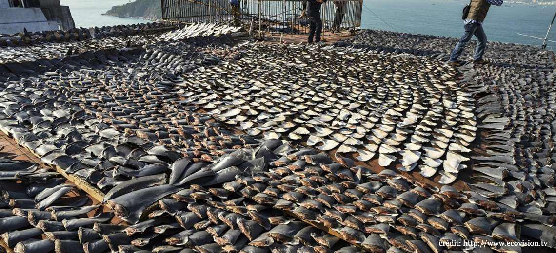 îles Galapagos: ailerons de requins
