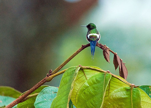 Mindo: Colibri Coquette à queue fine