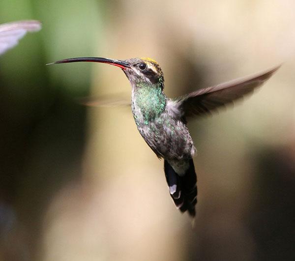 Mindo: Colibri Ermite Yaruqui