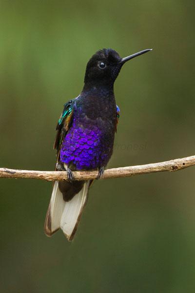 Mindo: Colibri de Jardine