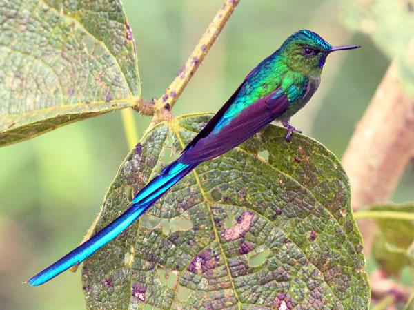 Mindo: Colibri Sylphe à queue d'azur