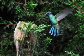 Mindo: colbris en Équateur