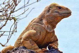 L'iguane de Santa Fé, aux Galapagos