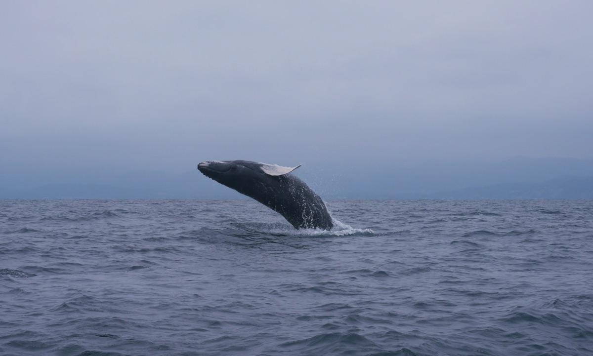 Côte pacifique en Equateur: baleine à bosse