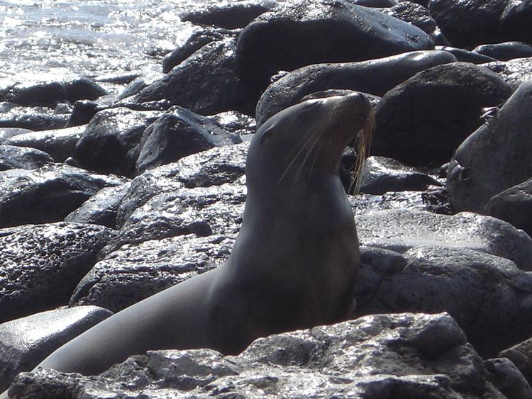 île Bartolome, otarie des Galapagos
