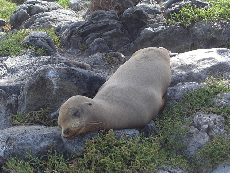 île Española, bébé otaries des Galapagos