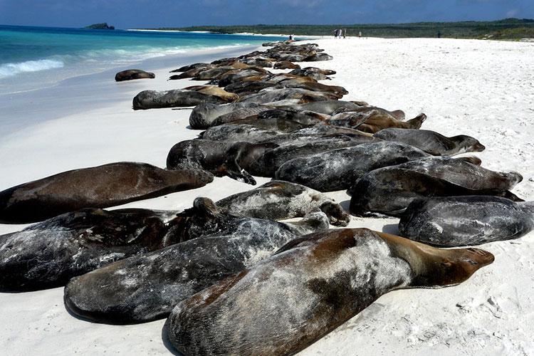 île Santiago, otaries des Galapagos