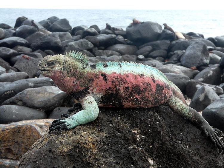 île San Cristobal, iguane marin des Galapagos