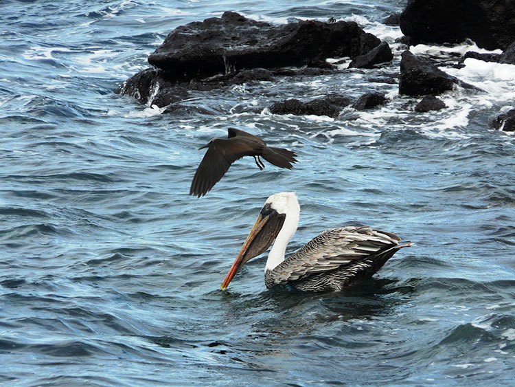 île San Cristobal, pélican des Galapagos