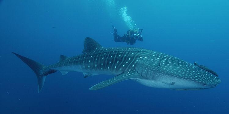 Beagle Rocks, croisière plongée aux Galapagos: requin baleine