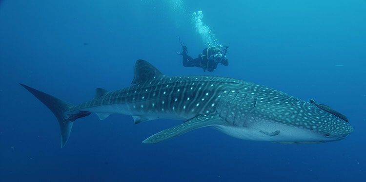 Daphne Menor, croisière plongée aux Galapagos: requin baleine