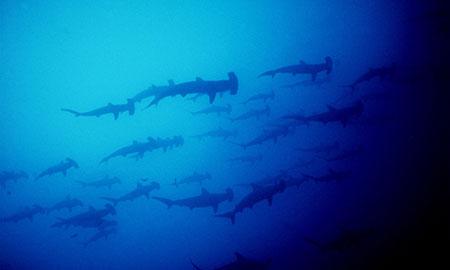 Plonger sur l'île Darwin aux Galapagos