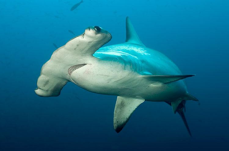 île Darwin, croisière plongée aux Galapagos: requin marteau