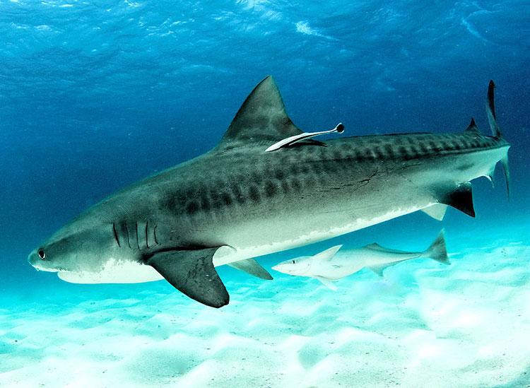 île Darwin, croisière plongée aux Galapagos: requin tigre