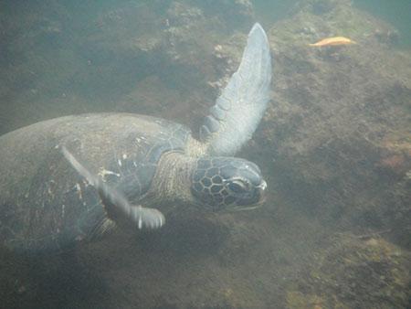 Tortue des Galapagos, ìle Española