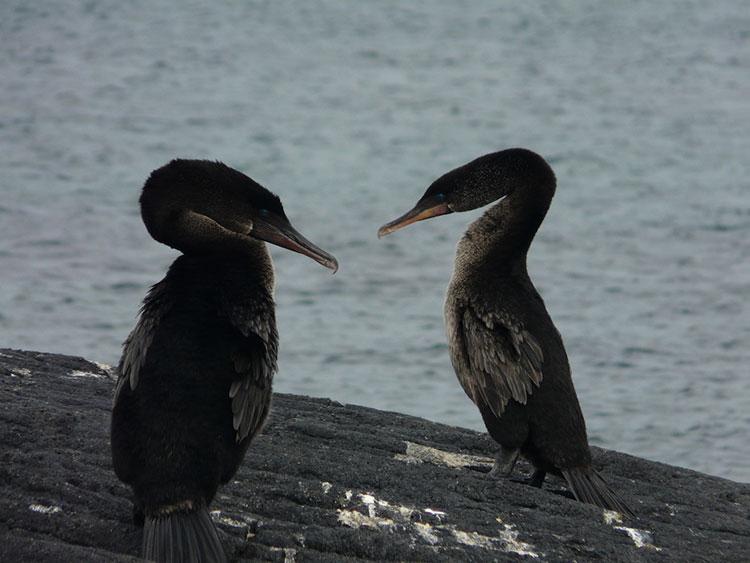 île Fernandina, cormoran aptère des Galapagos