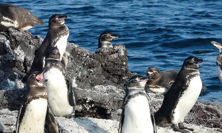 île Fernandina, manchots des Galapagos