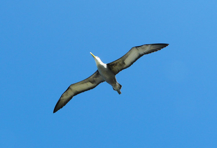 île Fernandina, mouette des Galapagos