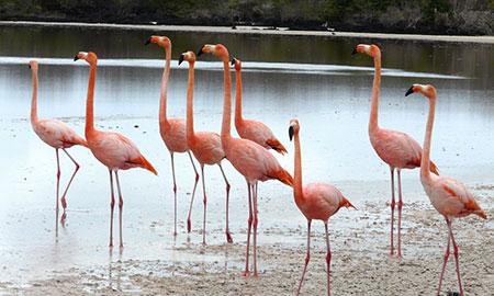 île Floreana, flamant rose des Galapagos