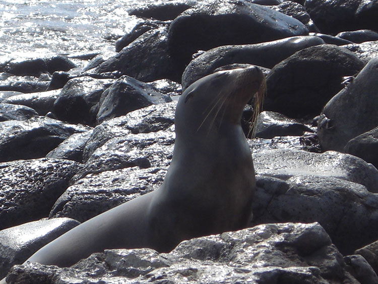 île Floreana, otarie des Galapagos