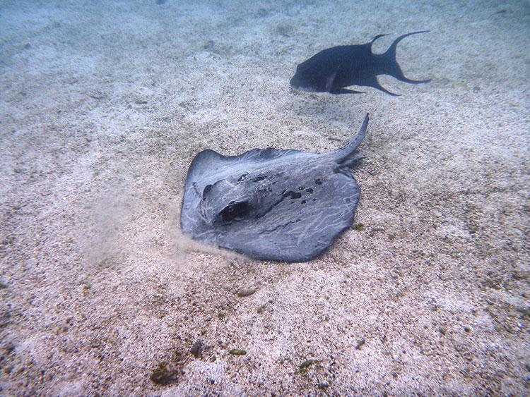 île Floreana, croisière plongée aux Galapagos: raie