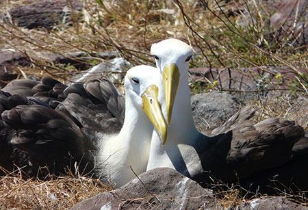îles Galapagos: albatros