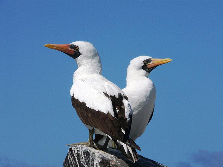 île Genovesa, fou de nazca Galapagos