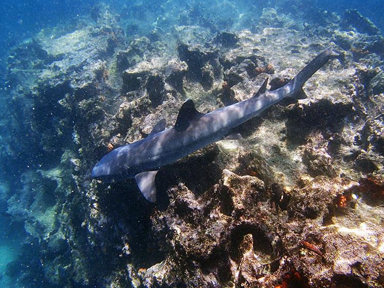 Gordon's Rock, croisière plongée aux Galapagos: requin récif