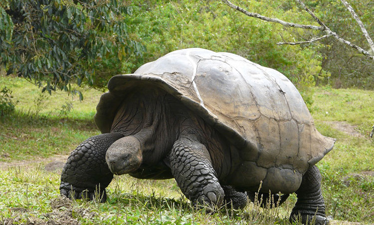 île Isabela, tortues terrestres des Galapagos