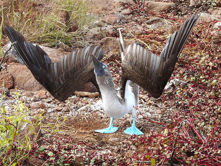 île North Seymour, fiu à pattes bleues des Galapagos