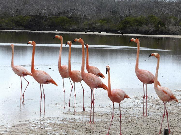 île Santa Cruz, flamants roses des Galapagos