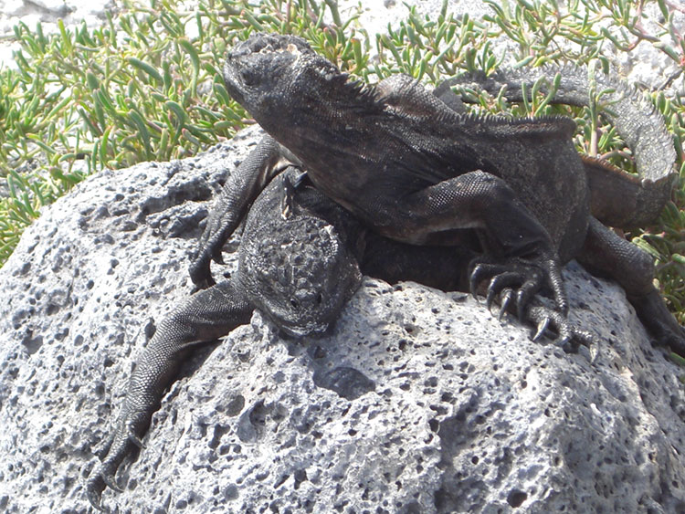 île Santiago, iguane marin des Galapagos
