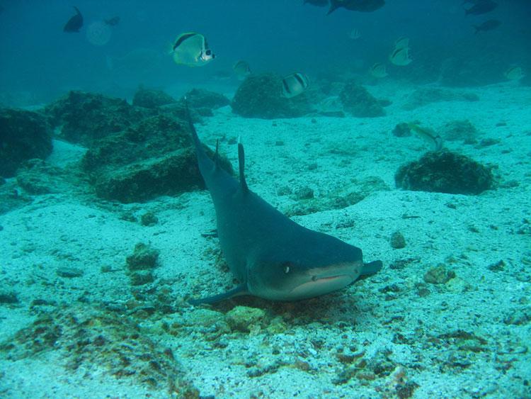 île Santiago, requin des Galapagos