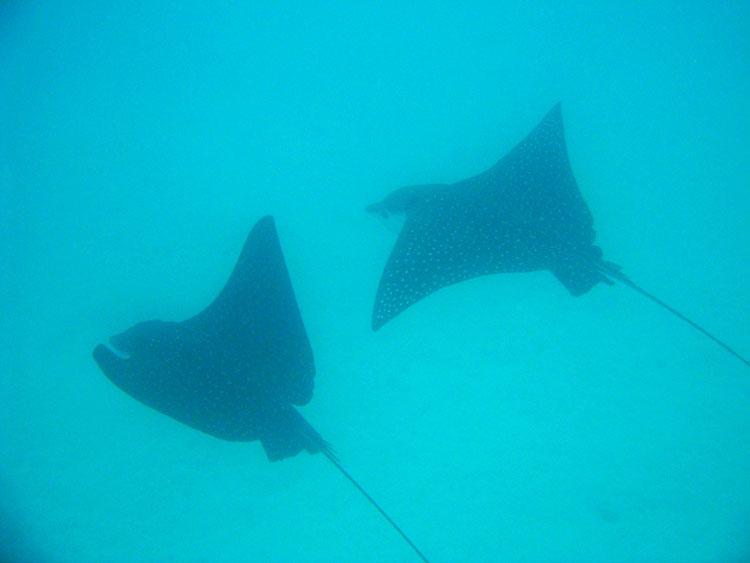 l'île Seymour, croisière plongée aux Galapagos: raies Manta