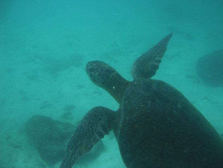 l'île Seymour, croisière plongée aux Galapagos: tortue