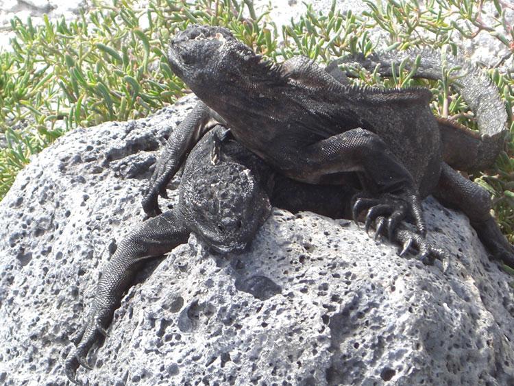 île South Plaza, iguane marin des Galapagos