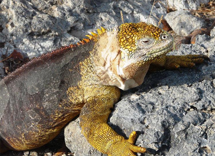 île South Plaza, iguane terrestre des Galapagos