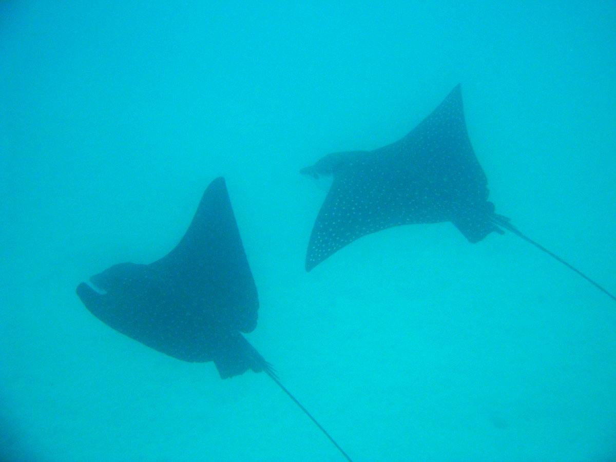 île Wolf, croisière plongée aux Galapagos: raie manta