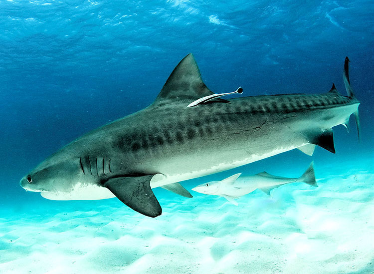 île Wolf, croisière plongée aux Galapagos: requin tigre