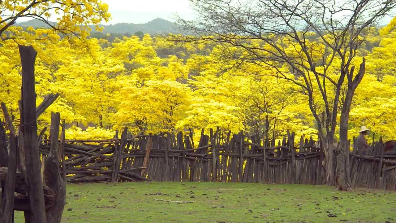 Floraison des Guayacanes en Équateur