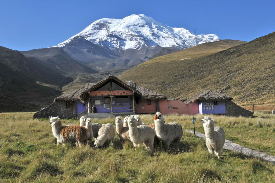 Lodge Chimborazo, lamas